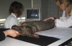 Hjerteundersøgelse af Gravhunde i forskningsprojekt